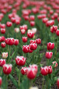 Free TULIPS FIELD I Stock Photography - 2310552