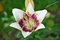 Free Flower Of Lily Royalty Free Stock Photography - 23346827