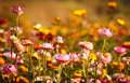 Free Colorful Flower Royalty Free Stock Image - 23625896