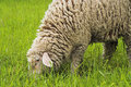Free Sheep Stock Images - 2398204
