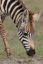 Free Plains Zebra Stock Photo - 2413220