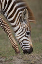 Free Plains Zebra Stock Images - 2413224