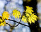 Free Maple Leaf In Springtime Royalty Free Stock Photography - 24323997