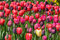 Free Pink And Purple Tulips Stock Images - 24499094