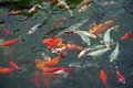 Free Colorful Carps Royalty Free Stock Photography - 24996457