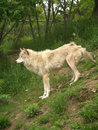 Free Arctic Wolf Royalty Free Stock Photo - 2544545