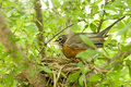 Free Robin In A Nest Stock Photo - 2549550