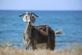 Free Goat In Greece Stock Photos - 25602513