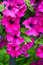 Free Beautiful Pink Petunias Royalty Free Stock Photo - 25620915