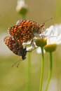 Free Two Populating Fritillary Stock Images - 25755614