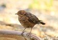 Free Young Blackbird Stock Image - 26004851