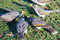 Free Noisy Miners Royalty Free Stock Image - 26028606