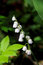 Free Lily Of The Valley. Spring. Royalty Free Stock Image - 26479606