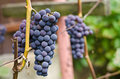 Free Grapes Clusters Isabella Stock Photo - 26650350
