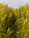 Free Wheat Field Detail Stock Image - 2704641