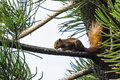 Free Asian Red Tree Squirrel Stock Photography - 27074732