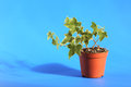 Free Green Ivy In Pot Stock Image - 27198981