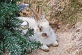 Free Rabbit Lying Under The Christmas Tree Royalty Free Stock Images - 27232889