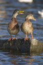 Free Two Ducks Stock Photography - 27237882
