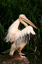 Free Pelican Preparing For Flight Royalty Free Stock Photo - 2730395