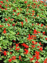 Free Flowerbed - Red Flowers Royalty Free Stock Images - 2784819