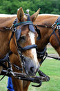 Free Belgian Draft Horse Stock Photo - 2791760