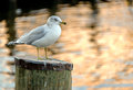 Free Seagull On Pier Post Royalty Free Stock Photography - 27998587