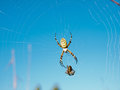 Free Wasp Spider Royalty Free Stock Images - 28011689