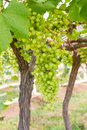 Free Green Grapes On The Vine Royalty Free Stock Photo - 28065275