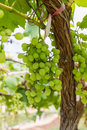 Free Green Grapes On The Vine Stock Image - 28065451