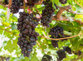 Free Red Grapes On The Vine Stock Images - 28066064