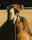 A camel -- one of the few forms of transport I've had enough of.