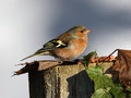 Free Chaffinch Royalty Free Stock Photography - 28238047