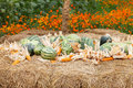 Free Watermelon And Dry Corn On A Pile Of Straw. Stock Photos - 28332143