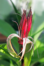 Free Spider Lilies, Or Crinum Flower Royalty Free Stock Photography - 28471467