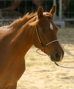 Free Portrait Of A Horse Stock Images - 2851834