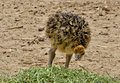 Free Just Hatched Chick Of African Ostrich Stock Photos - 28586103