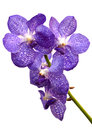 Free Violet Orchid Royalty Free Stock Images - 28614769