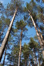 Free Pines In A Blue Sky Royalty Free Stock Image - 28617756