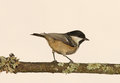 Free Coal Tit Royalty Free Stock Photography - 28623857