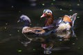 Free Mandarin Duck Royalty Free Stock Photography - 28703537