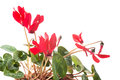 Free Red Cyclamen Flower Stock Photography - 28766012