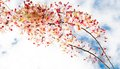 Free Sakura Flowers Blooming Blossom Stock Photography - 29432122