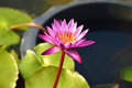 Free Pink Lotus Blooming On Pond Stock Images - 29548254