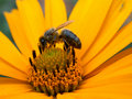 Free Bee On The Daisywheel Garden Royalty Free Stock Photos - 2986308
