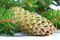 Free Fur-tree Branch With Cones Royalty Free Stock Photo - 2989135