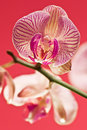 Free Pink Orchid Stock Photos - 3086433