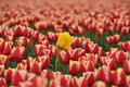 Free Yellow Tulip Amongst Other Colors Royalty Free Stock Photos - 30848638