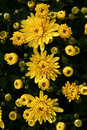 Free Yellow Flowers Royalty Free Stock Image - 3191276