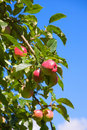 Free Autumn Apples Stock Images - 3269114
